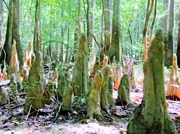 Make Cypress Knee Lamps by Alone In A Land Of Giants At Congaree National Park Living In