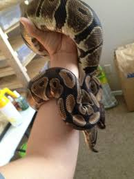 Ball Python Bedding by Never Owned A Snake Before Really Wanting To Get A Royal Python