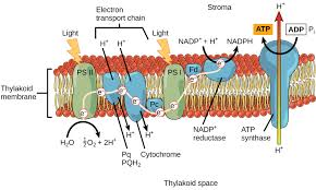 5 2 The Light Dependent Reactions of synthesis