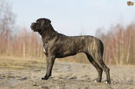 corso excessive shedding corso breed information buying advice photos and facts