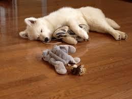 Do Samoyed Dogs Shed Hair by Samoyed Puppy Adorbs Pinterest Samoyed Puppies Samoyed Dog