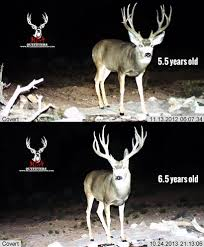 Deer Antler Shedding Cycle by The Key To Antler Growth Age Genetics Nutrition Gohunt