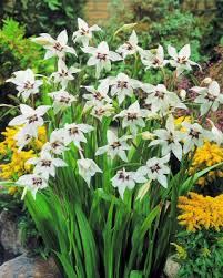 flower bulbs for sale acidanthera murielae allium bulbs loading