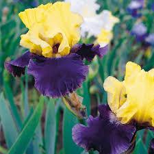 zyverden bearded iris bulbs jurassic park set of 3 roots