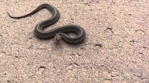 Garter Snake Catch - YouTube Diamondback Water Snake Indiana 1 Yard Long Youtube Snake Trap Cahaba Ewww Snakes 6 Tips To Keep Them Away From Your Home How A 14 Steps With Pictures Wikihow In The Duck House 9 Tips Help Repel Snakes Fresh Eggs Best Way Ive Found Yet Deal Problems Backyard Removal Wildlife Services Of South Florida Catch Deadly Safely Out Louisiana Department And Fisheries