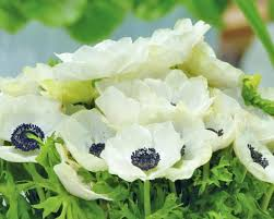 anemone the white bulbs buy at farmer gracy uk