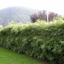 entretien des bambous en pot bambou fargesia rufa fargesia bambou non envahissant non