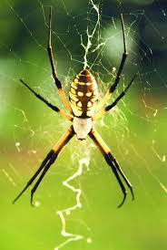 109 Best Spiders And Webs Images On Pinterest | Spiders, Nature ... Spiders At Spiderzrule The Best Site In World About Spiders 5 Venomous Found Colorado Outthere 109 And Webs Images On Pinterest Nature Ohios Biting Spidersrule The Barn Spider Pets Cute Docile Bug Eric Sunday Western Spotted Orbweaver Araneus Gemmoides Wikipedia Poisonous Georgia