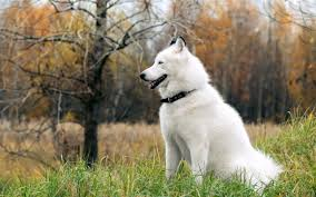 Do Samoyed Huskies Shed by 7 Things You Need To Know About The Siberian Husky Animalso