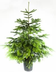 Potted Christmas Tree by Potted Christmas Trees U2014 The Boma Garden Centre