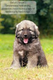 Low Shedding Big Dogs by Sarplaninac Puppy Jpg