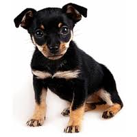 do miniature pinscher mix shed how bad do min pins shed advice from real min pin owners