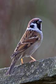 Best 25+ Sparrow Bird Ideas On Pinterest | Sparrows, Small Sparrow ... Best 25 Sparrow Bird Ideas On Pinterest Sparrows Small Sparrow Pretty Birds House Urban Noise Killing Baby House Sparrows Bbc News Bird Sing Pennsylvania Barn Golondrina Canto Swallow Mike Powell Wedding Venue The White 23 Best Event Space Barn Images Weddings Tattoos By Chronoperates Deviantart For The Barn Wedding Dallas Planner Grit Baby Puffcat