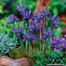 specie iris bulbs blue iris american
