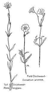 Field Chickweed Cerastium Arvense Tall Alsine Longipes