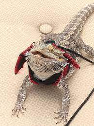 Bearded Dragon Heat Lamp Went Out by Bearded Dragons Petlife