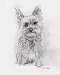 Yorkshire Terrier Drawing By Jim Hubbard