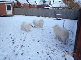 Do Samoyeds Shed All The Time by Character The British Samoyed Club