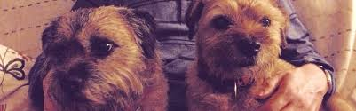 Do Border Terriers Shed by Do Border Terriers Moult Living With A Border Terrier
