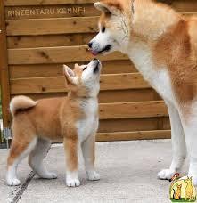 akita puppy google search animals pinterest akita akita