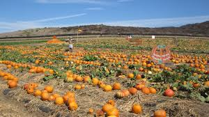 Best Pumpkin Picking In South Jersey by Pumpkin Patch U2014 Tanaka Farms