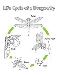 Life Cycle Of A Dragonfly Coloring Page From Category Select 25105 Printable Crafts Cartoons Nature Animals Bible And Many More
