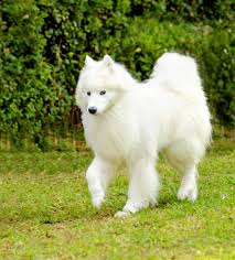 Large Non Shedding Dogs List by Hypoallergenic Dogs