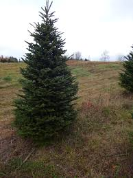 Christmas Tree Species by Choose And Cut Trees