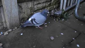 A Tame Pigeon In Our Back Yard! - YouTube A Tame Pigeon In Our Back Yard Youtube 378 Best Pigeons Doves Images On Pinterest Beautiful Birds Hd Big Dove Pigeons Doves White Gray Eating Seed Backyard Flock Of Bandtailed Cramming Into Bird Feeder My First Backyard Chickens Building Loft For New Need Info Faest Sprinter Racing Modena Food And Profit Cooldesign Backyard Architecturenice Busy Their Foods My Help Me Identify The Gender This