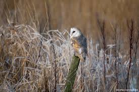 Five Facts You Need To Know About Barn Owls - Scottish Nature ... Barn Owl Audubon Field Guide Swallow Facts For Kids Information About Owls Dk Find Out Hinterland Whos Who Family Ties Chicks Let Their Hungry Siblings Eat First Words On Birds Central Coast Vineyard Team And Pge Nest Box Program Cold Snowy Winter Stock Photo Image 43833726 Tips Encouraging To Imagesnaturally May 2015 Blog