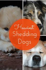 Large Dogs That Dont Shed Fur by Hypoallergenic Dogs Which Dogs Shed The Most