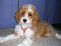 Do F2 Cockapoos Shed by Cockapoo Wikipedia