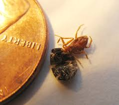 Carpet Weevil Pictures by Help Id A Couple Things A Headless Ant Queen Carpet Beetle