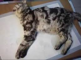 renal failure in cats 2天點滴的貓抽搐嚴重renal failure cat more serious after treatment