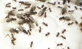 fliegende ameisen selbst de