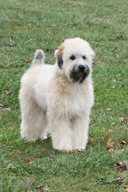 Do Wheaten Terriers Shed by Soft Coated Wheaten Terrier Puppies For Sale
