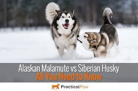 alaskan malamute vs siberian husky all you need to know