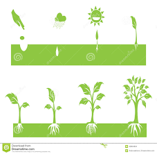 Stages Of Pumpkin Plants by Plant Growing Stock Vector Image 40854804