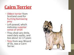 cairn terrier shed hair breeds id vet tech ppt