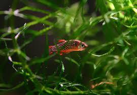 quels poissons choisir pour un petit aquarium de 60 80 l
