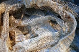 Shed Snake Skin Pictures by Shed Snakeskin Stock Image Image Of Scaly Serpent Shed 26619999