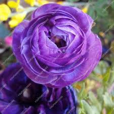 120pcs blue ranunculus flower seeds home diy buttercup
