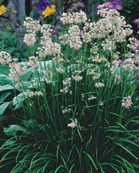 alliums all season gardening