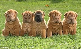 Do Mini Shar Peis Shed by Two Rare Shar Pei Dogs Worth 3 000 Each Are Stolen And One Is